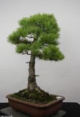 Bonsai White pine azuma, Pinus parviflora azuma, no. 6456