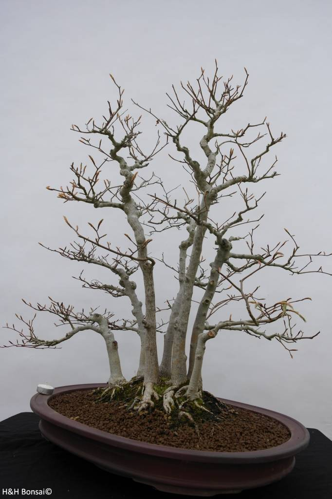 Bonsai Japanese beech, Fagus crenata, no. 6459