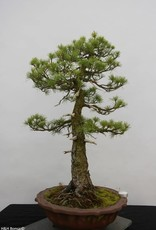 Bonsai Japanese White Pine, Pinus pentaphylla, no. 6461