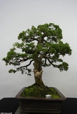 Bonsai Chinese Juniper, Juniperus chinensis, no. 6479