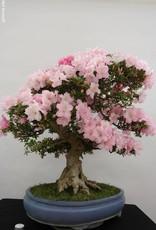 Bonsai Azalea Satsuki Gyoten, no. 5682