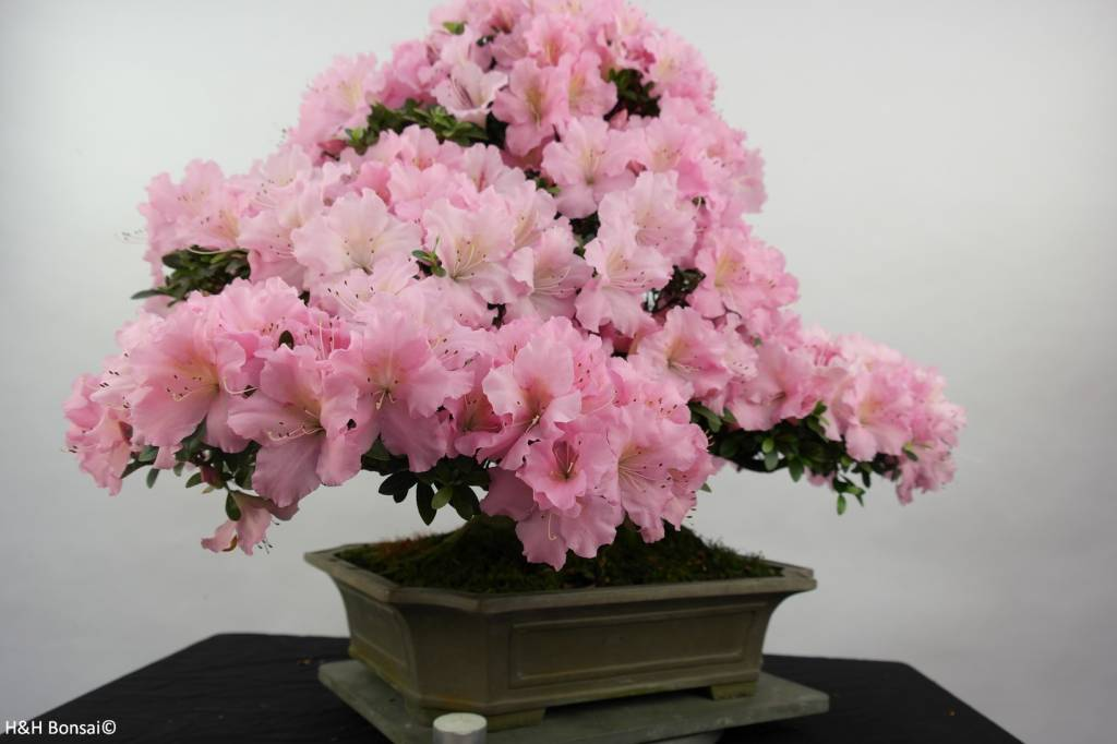 Bonsai Azalea Satsuki, no. 5291