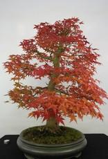 Bonsai Japanese Maple, Acer palmatum, no. 5231