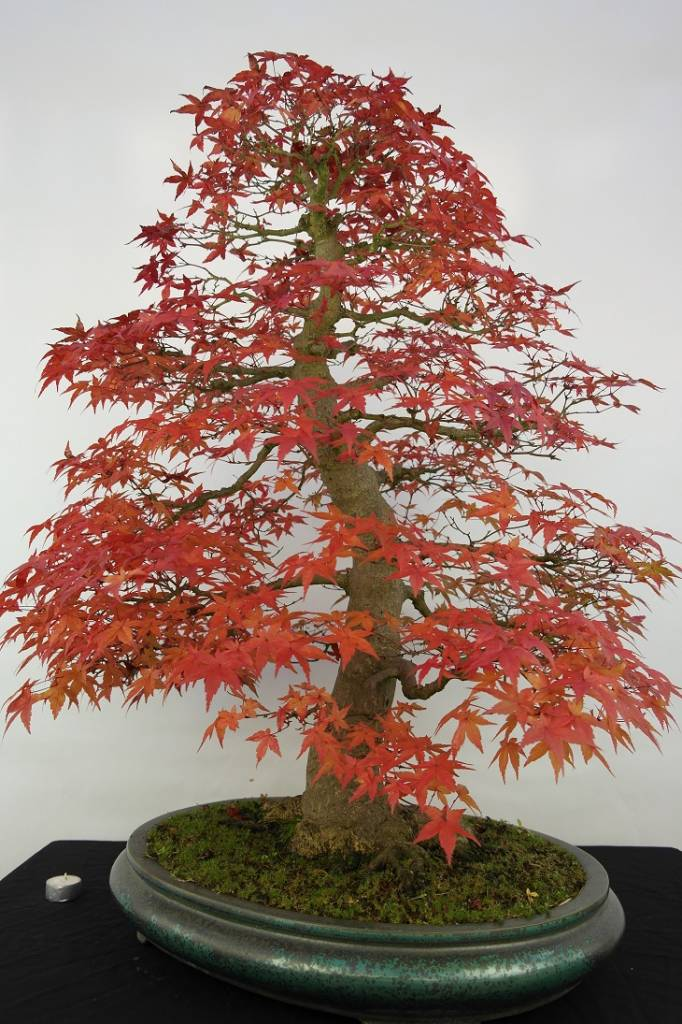 Bonsai Japanese Maple Acer Palmatum No 5231 Wwwhenhbonsaicouk