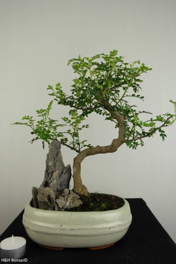 Bonsai Japanese Pepper, Zanthoxylum piperitum, no. 6665