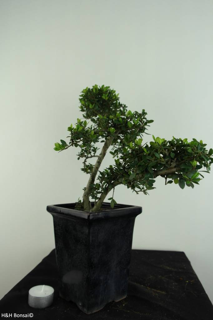 Bonsai Japanese Holly, Ilex crenata, no. 6868