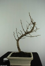 Bonsai Golden Larch, Pseudolarix amabilis, no. 6883