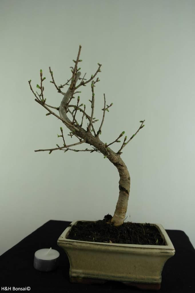 Bonsai Golden Larch, Pseudolarix amabilis, no. 6884