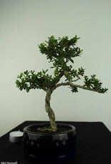 Bonsai Japanese Holly, Ilexcrenata, no. 6891