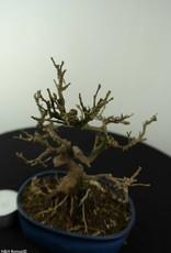 Bonsai Shohin Japanese snowbell,Styrax japonicus, no. 6961