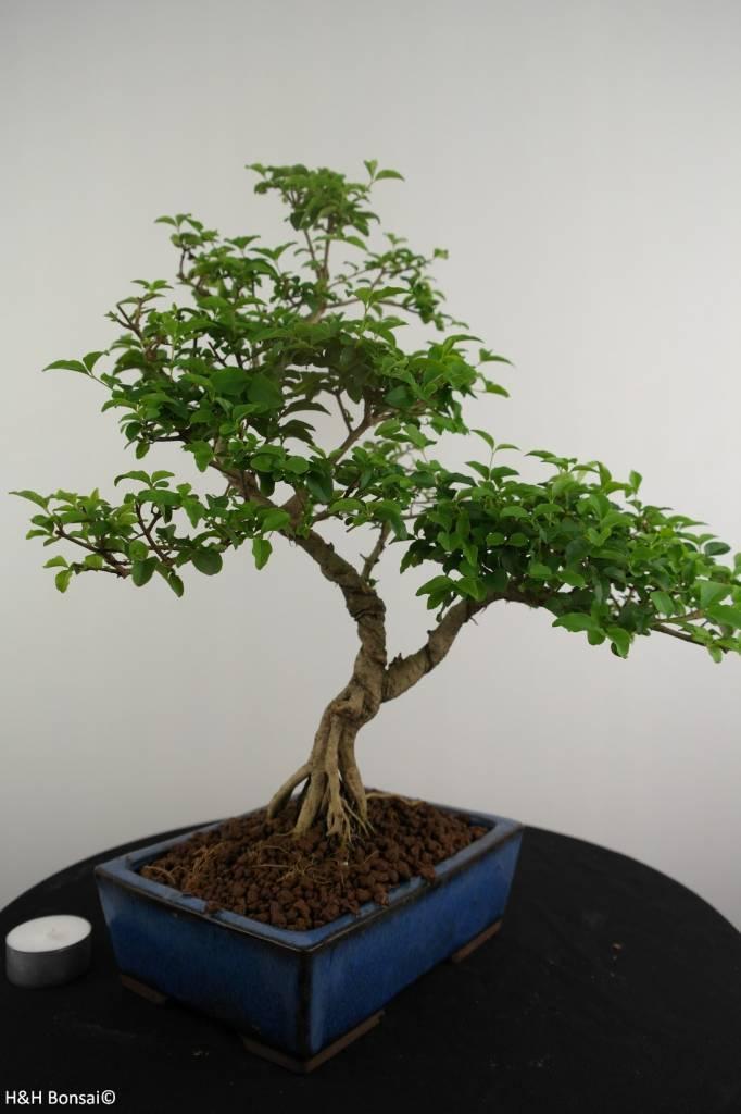 Bonsai Privet,Ligustrum sinense, no. 6986