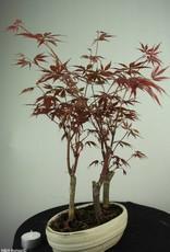 Bonsai Japanese maple, Acer Palmatum, no. 7015