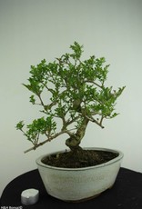 Bonsai Ash tree, Fraxinus sp., no. 6732
