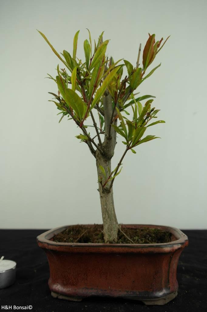 Bonsai Pomegranate, Punica granatum, no. 6922