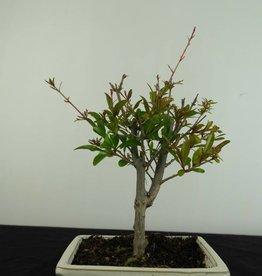 Bonsai Pomegranate, Punica granatum, no. 6925