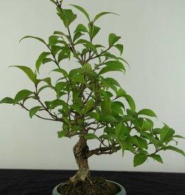 Bonsai Shohin Japanese Beautyberry, Callicarpa japonica, no. 6960