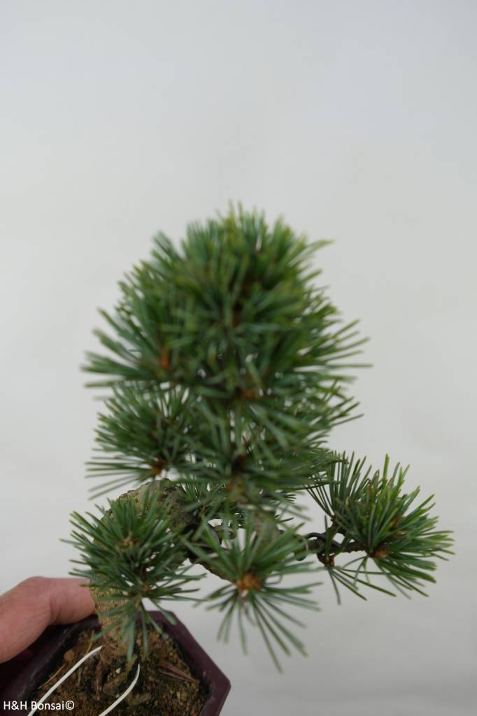 Bonsai Shohin Japanese White Pine, Pinus pentaphylla, no. 7059