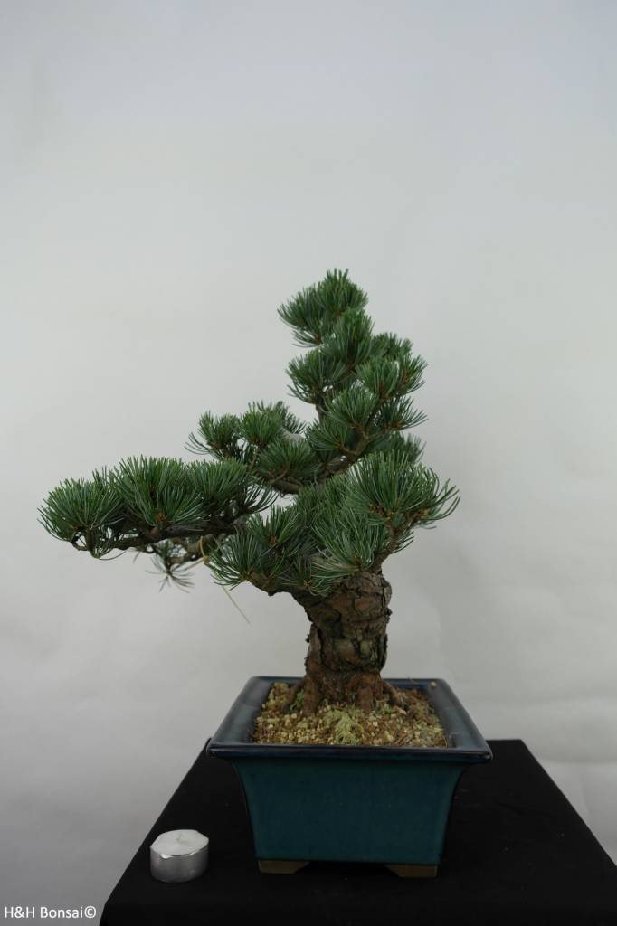 Bonsai Japanese White Pine, Pinus pentaphylla, no. 7065