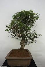 Bonsai Chinese Elm, Ulmus, no. 7071
