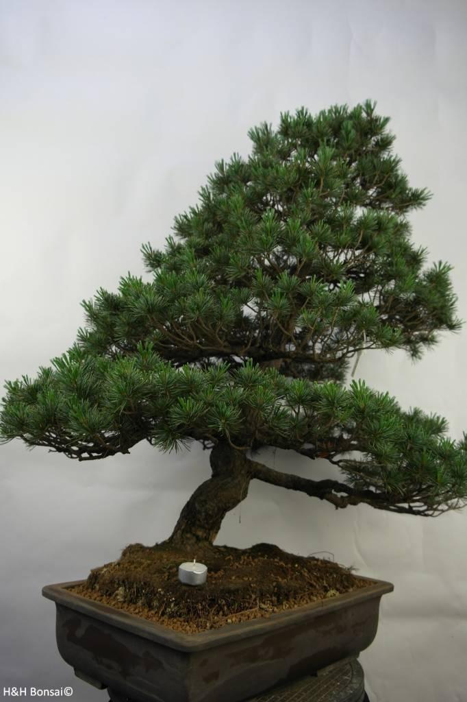 Bonsai Japanese White Pine, Pinus pentaphylla, no. 7072