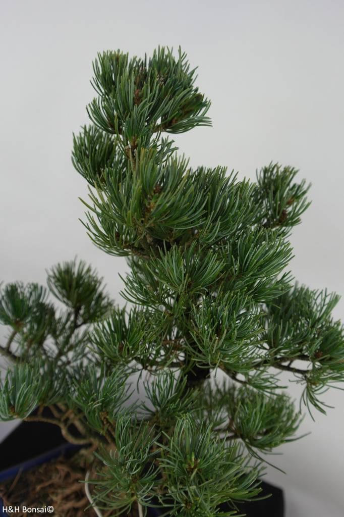 Bonsai Japanese White Pine, Pinus pentaphylla, no. 7073