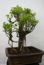 Bonsai Fig tree, Ficus retusa, no. 7102