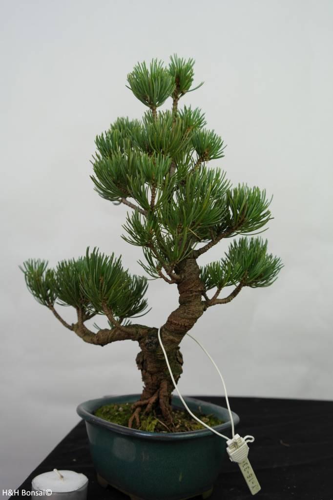 Bonsai Japanese White Pine, Pinus pentaphylla, no. 7114