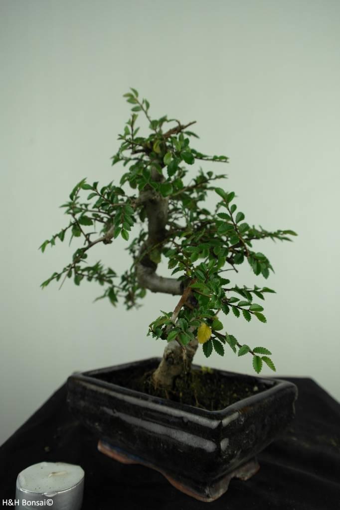 Bonsai Chinese Elm, Ulmus, no. 6587
