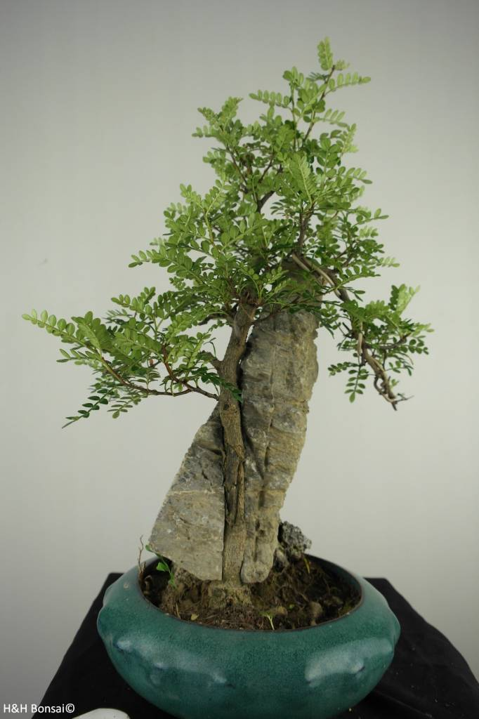 Bonsai Japanese Pepper,Zanthoxylum piperitum, no. 6904