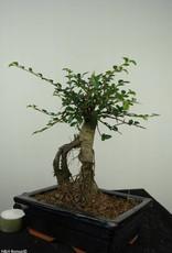 Bonsai Chinese Elm, Ulmus, no. 7146