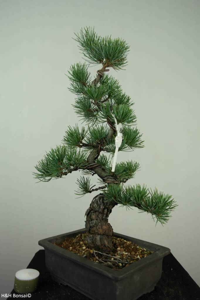 Bonsai Japanese White Pine, Pinus pentaphylla, no. 7154