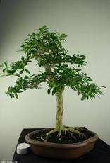 Bonsai Snow Rose, Serissa foetida, no. 7170
