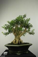 Bonsai Boxwood, Buxus harlandii, no. 7187