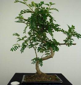 Bonsai Japanese Pepper,Zanthoxylum piperitum, no. 7272