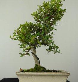 Bonsai Japanese Holly, Ilex crenata, no. 6749