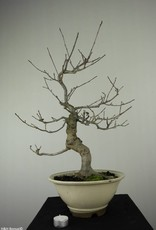 Bonsai Jap. Winterbeere, Ilex serrata, no. 6780