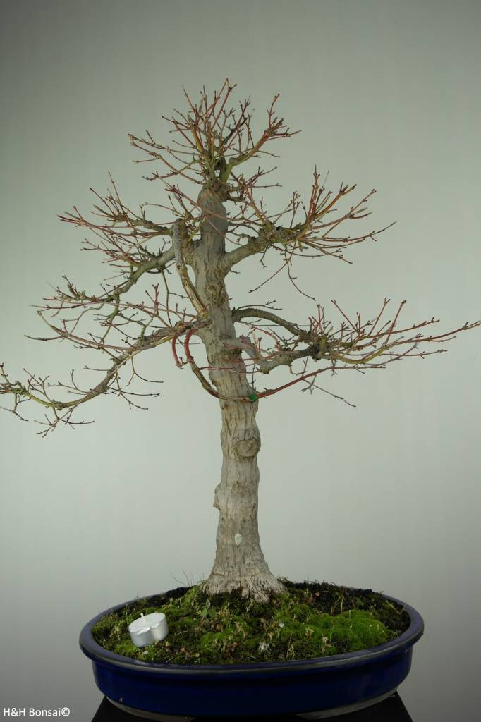 Bonsai Japanese Maple Acer Palmatum No 6784 Wwwhenhbonsaicouk