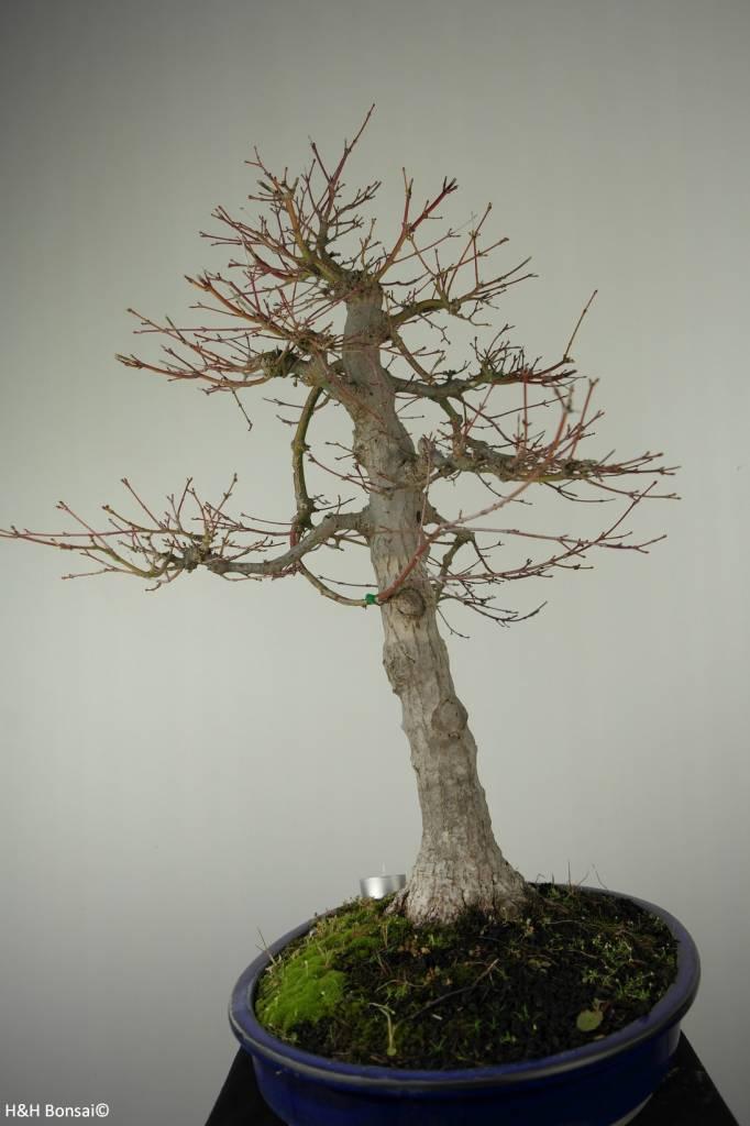 Bonsai Japanese maple, Acer palmatum, no. 6784