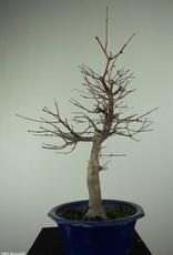 Bonsai Japanese Red Maple, Acer palmatum deshojo, no. 6816
