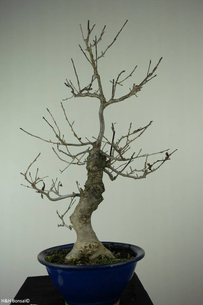 Bonsai Japanese Winterberry, Ilex serrata, no. 6955