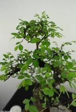 Bonsai Chinese Elm with rock, Ulmus, no. 7331