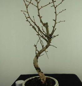 Bonsai Golden Larch, Pseudolarix amabilis, no. 7398