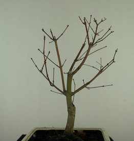 Bonsai Japanese Red Maple, Acer palmatum deshojo, no. 7427