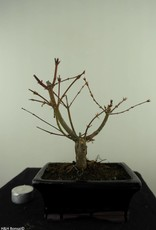 Bonsai Japanese Maple Batafurai, Butterfly, no. 7494