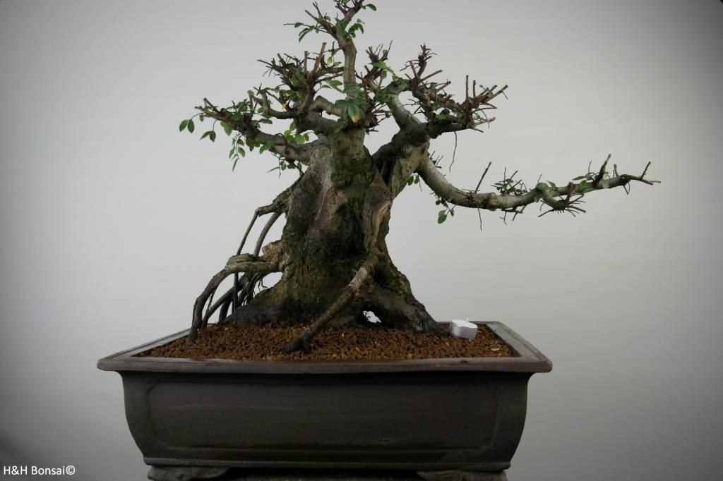 Bonsai Chinese Elm, Ulmus, no. 7510
