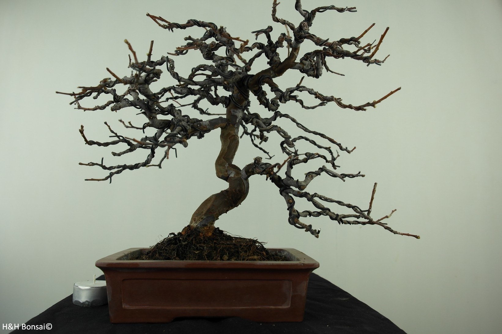 Bonsai Chinese Quince, Pseudocydonia sinensis, no. 7515
