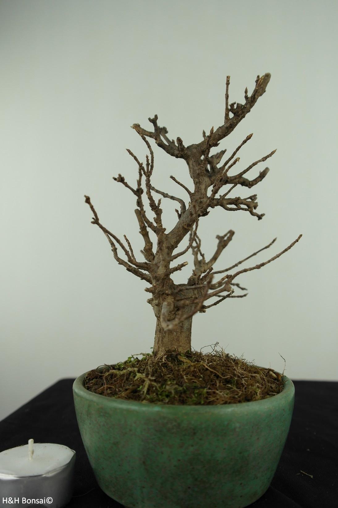 Bonsai Shohin Trident maple, Acer buergerianum, no. 7516