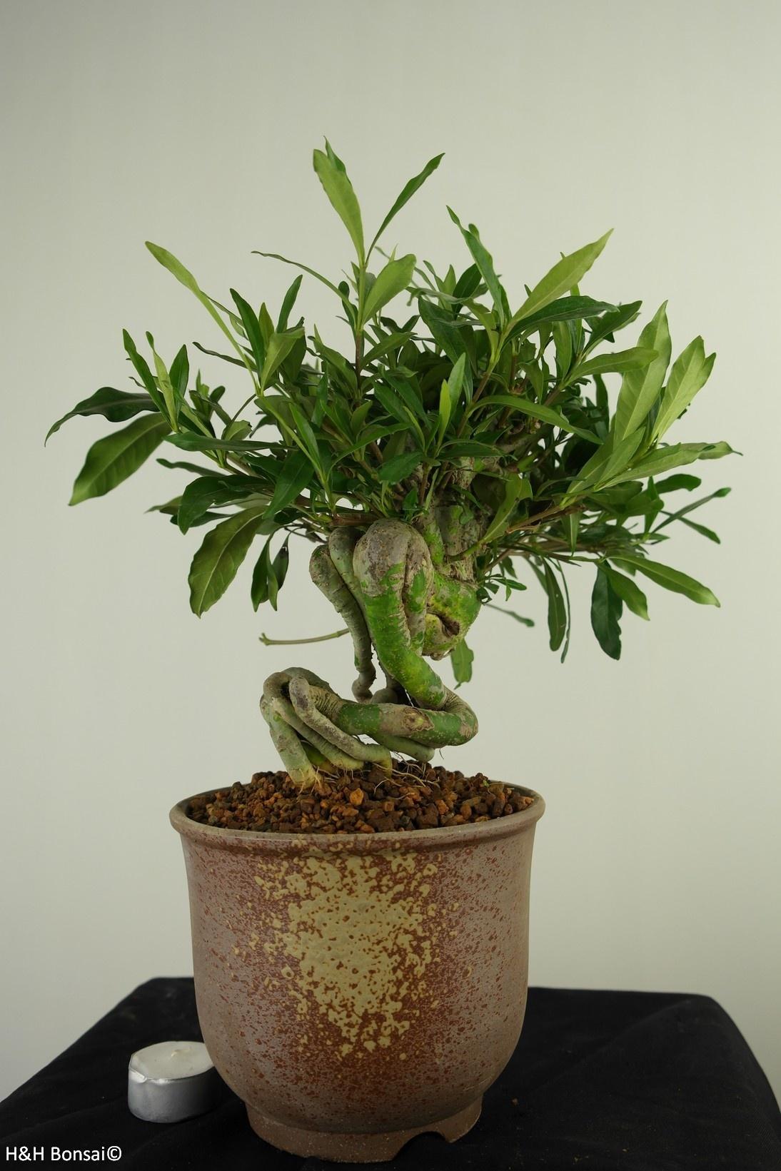Bonsai Gardenia jasminoides, no. 7521