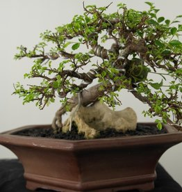 Bonsai Zelkova, no. 7531