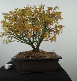 Bonsai Japanese maple kiyohime, Acer palmatum kiyohime, no. 7533